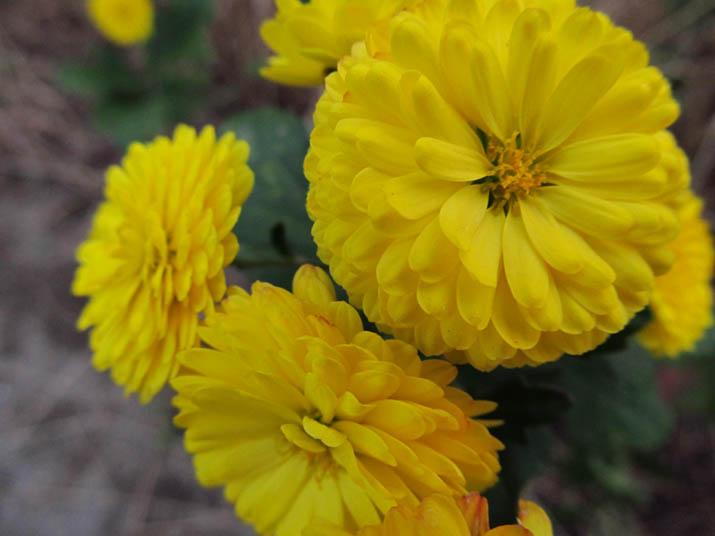 121129 黄色い菊.jpg