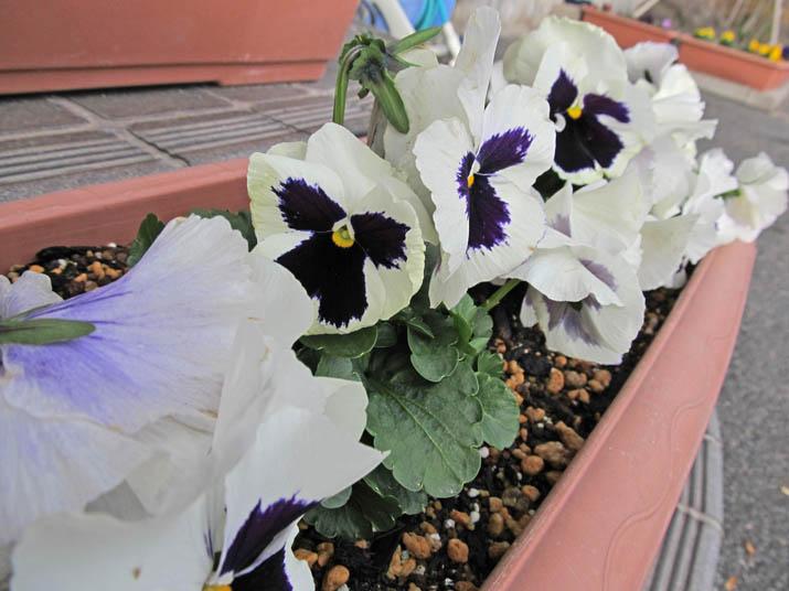 121216 大和公民館の花.jpg