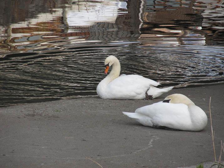130118 白鳥の夫婦.jpg