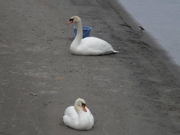 130206 白鳥2羽と鳥.jpg