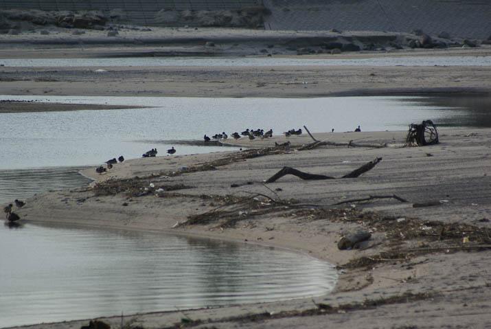 130215 日野川河口の野鳥.jpg