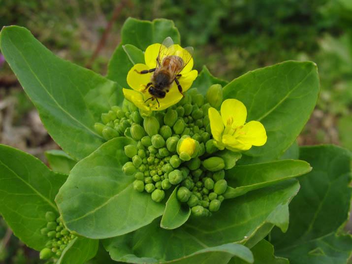 130317 菜の花にミツバチ.jpg