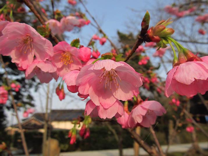 130319 早咲きの寒桜.jpg