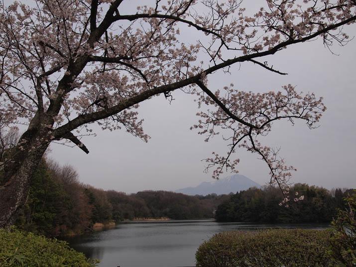 130404 岡成池の桜と大山.jpg