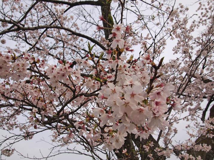 130404 岡成池の桜.jpg