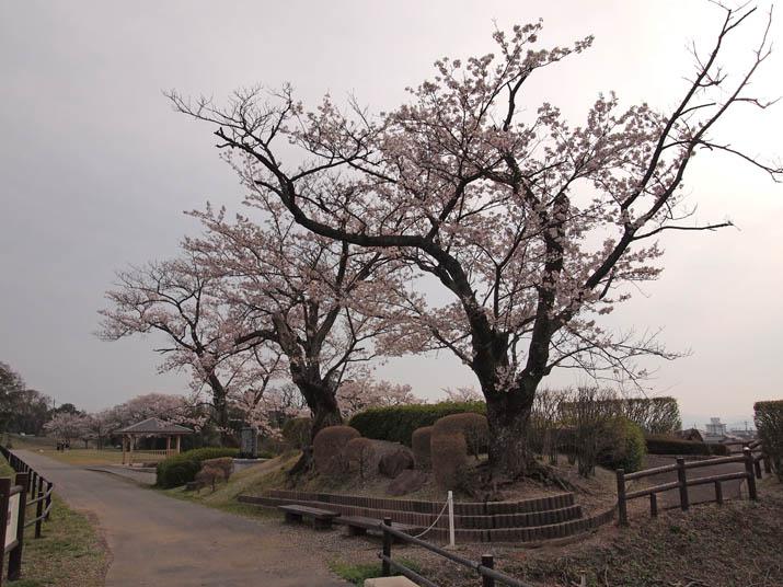 130406 岡成池の桜3本.jpg