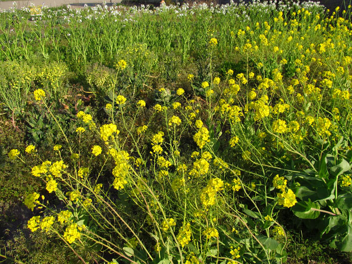 130414 冬野菜の花畑.jpg