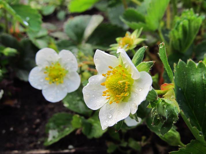 130416 苺の花.jpg