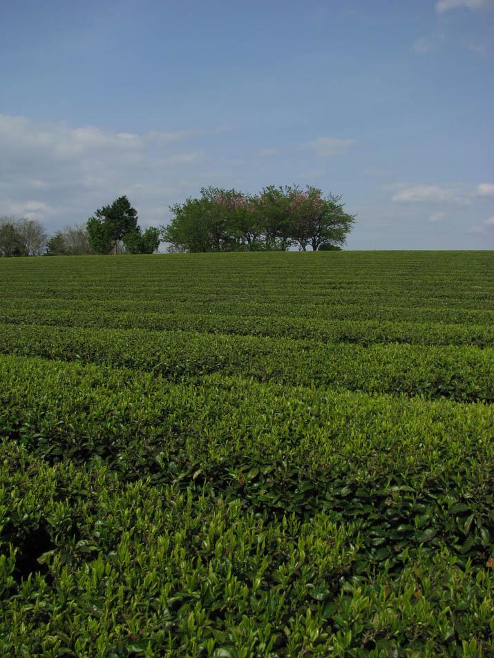 130419 壷瓶山山頂付近の茶畑.jpg