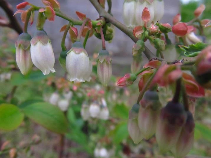 130430 ブルーベリーの花.jpg