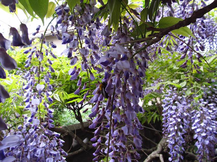130502 藤の花に蜂.jpg