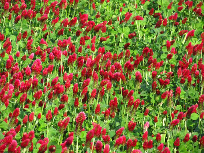 130506 苺のような赤い花.jpg