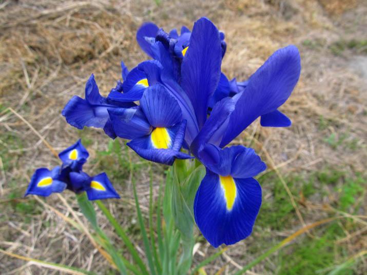 130516 青紫の花.jpg