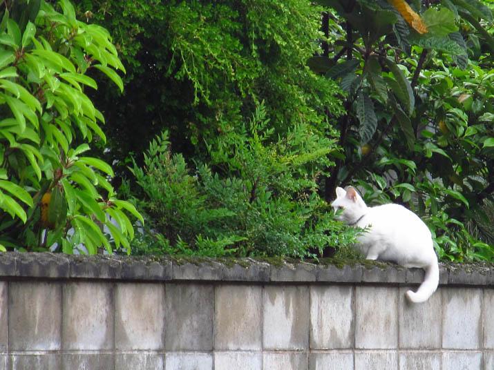 130519 塀の上に白いネコ.jpg