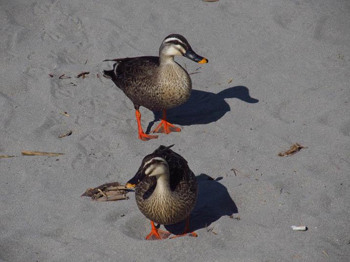 130523 鴨の夫婦.jpg