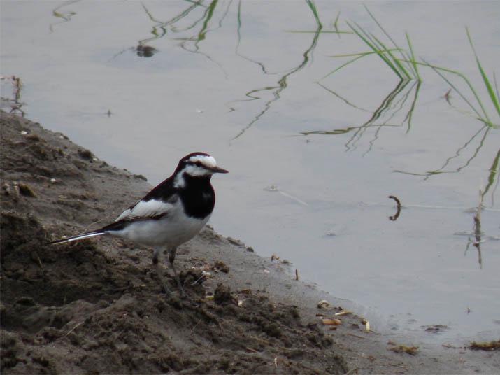 130602 白黒の鳥.jpg