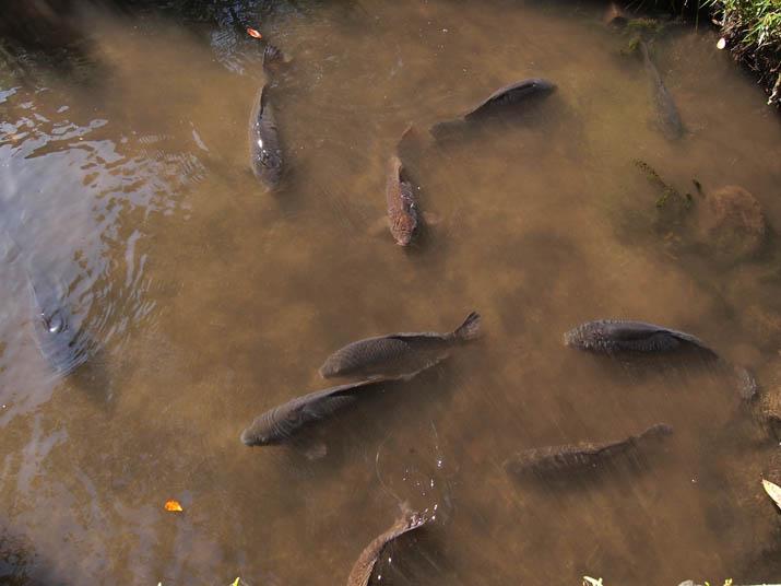 130605 大神山神社 本社の鯉.jpg