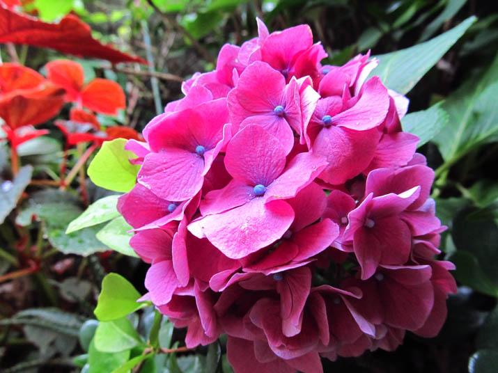 130702 庭先の紫陽花.jpg
