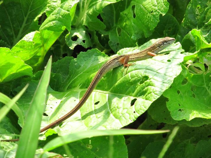 130716 畑のカナヘビ.jpg