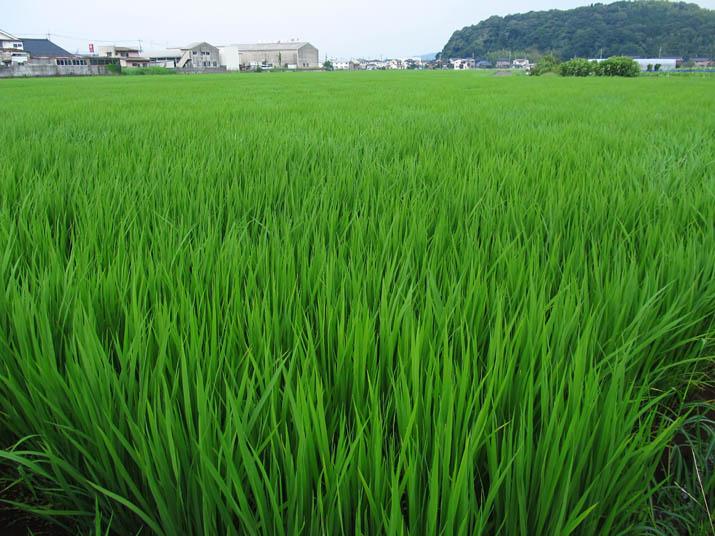 130728 緑が濃い稲.jpg