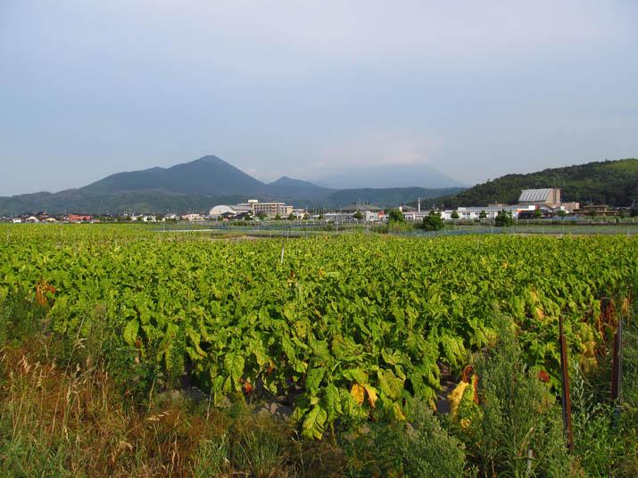 130810 たばこ畑と淀江支所.jpg