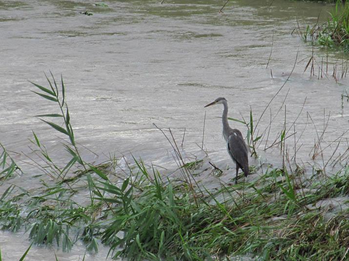 130904 増水した佐陀川とアオサギ.jpg