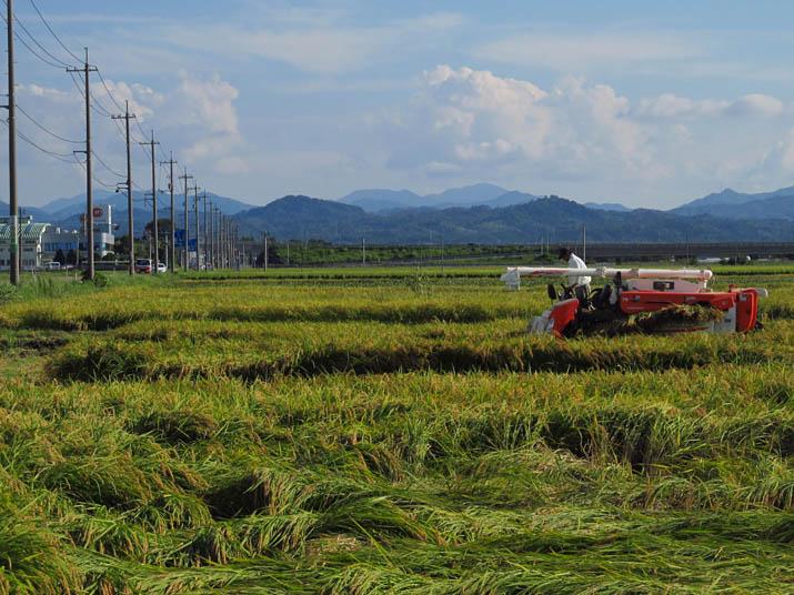 130909 稲刈りの始まり.jpg