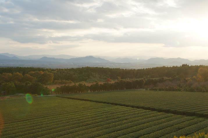 131123 壺瓶山の茶畑.jpg