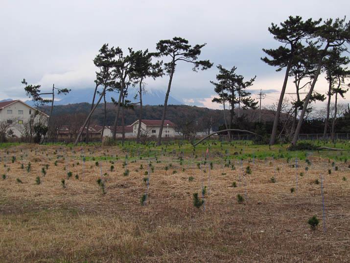 131209 松の植樹.jpg
