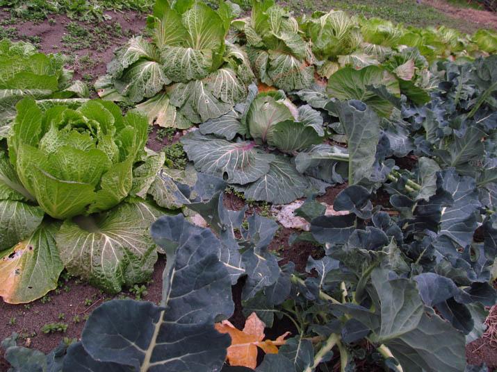140121 ブロッコリーと白菜.jpg