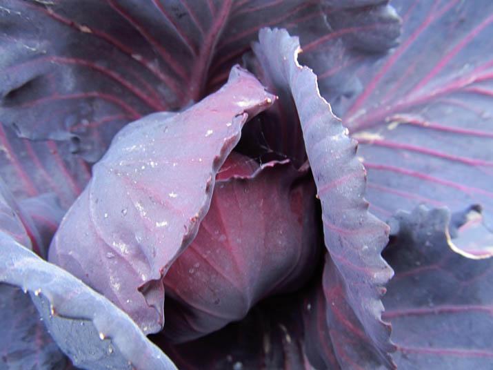 140121 紫キャベツ.jpg