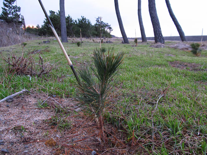 140211 松の植林.jpg