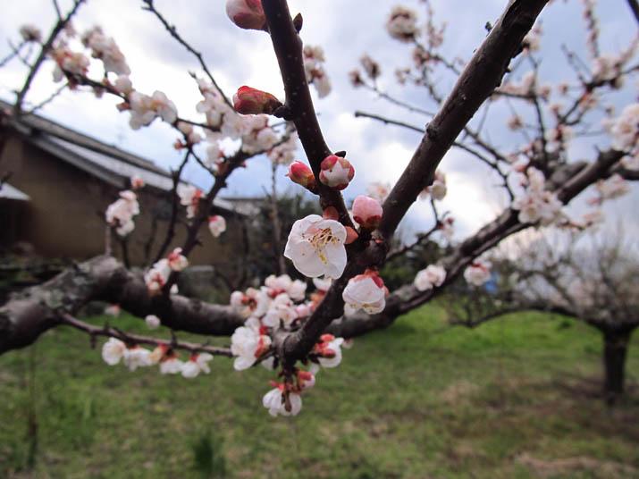 140322 食用梅の花.jpg
