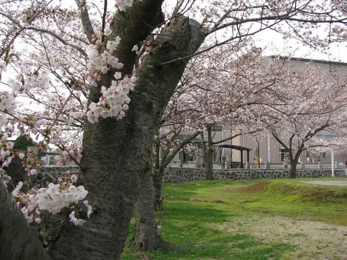 140401 5分咲き 日吉神社.jpg