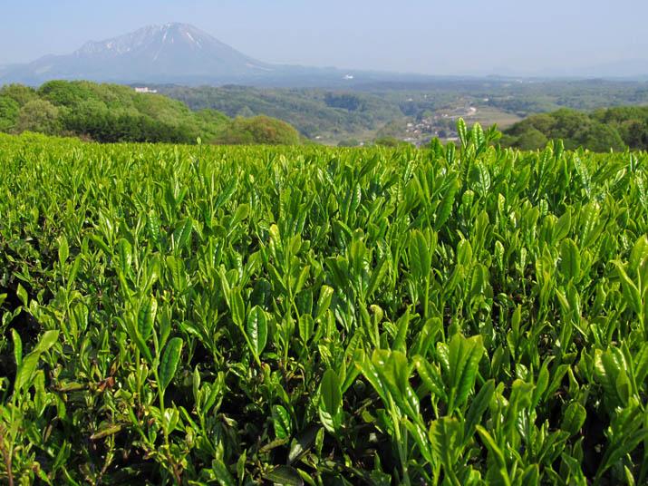 140502 壺瓶山のお茶.jpg