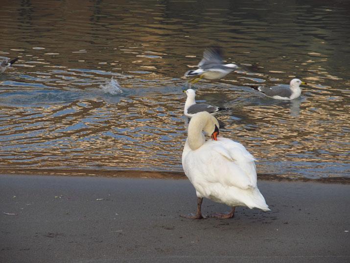 150123 カモメと白鳥.jpg
