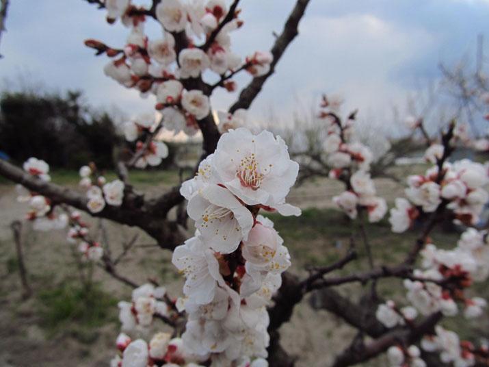 150329 食用梅の花.jpg