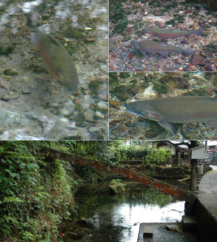 天の真名井横の池とニジマス.jpg