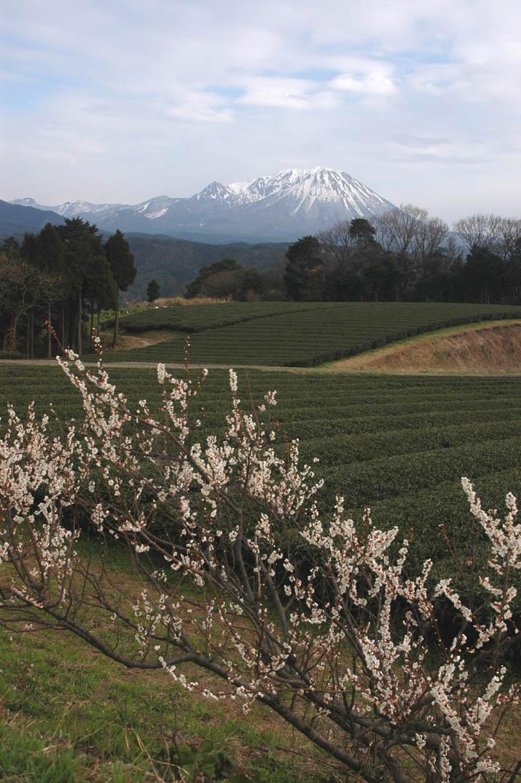 大山と茶畑と梅の花